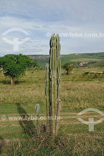 Assunto: Cacto  / Local: Itinga - Minas Gerais (MG) - Brasil / Data: 11/2011