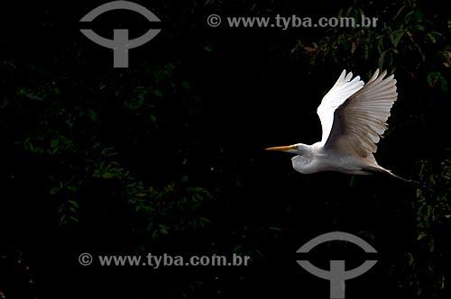Assunto: Garça-branca-grande (Ardea alba) voando, também conhecida como Garça-branca / Local: Porto Velho - Rondônia (RO) - Brasil / Data: 05/2010