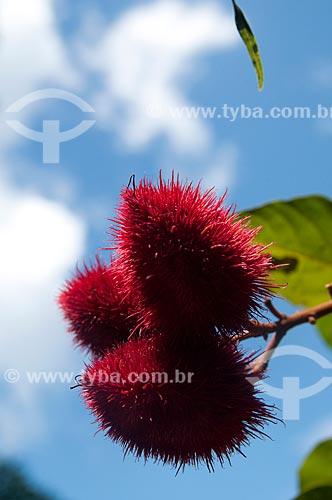Assunto: Urucum (Bixa orellana)   / Local: Porto Velho - Rondônia (RO) - Brasil / Data: 05/2010