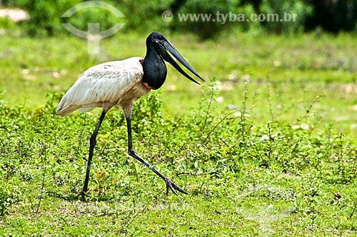 Assunto: Tuiuiú - ave ciconiiforme da família Ciconiidae / Local: Corumbá - Mato Grosso do Sul (MS) - Brasil / Data: 10/2010