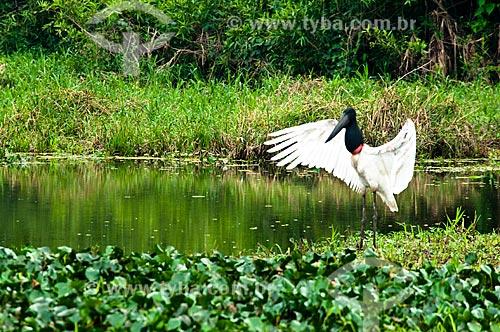 Assunto: Tuiuiú próximo a um lagoa - ave ciconiiforme da família Ciconiidae / Local: Corumbá - Mato Grosso do Sul (MS) - Brasil / Data: 10/2010