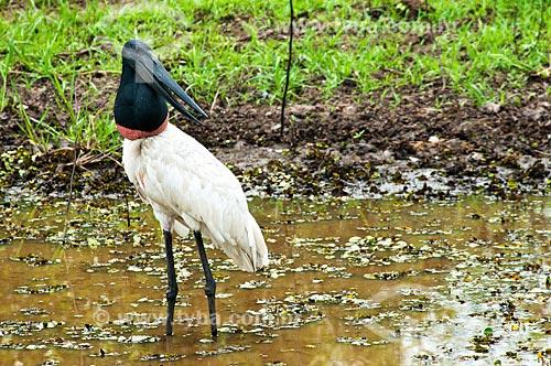 Assunto: Tuiuiú dentro de uma lagoa - ave ciconiiforme da família Ciconiidae / Local: Corumbá - Mato Grosso do Sul (MS) - Brasil / Data: 10/2010