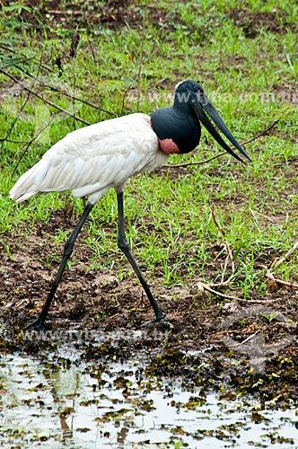 Assunto: Tuiuiú saindo da lagoa - ave ciconiiforme da família Ciconiidae / Local: Corumbá - Mato Grosso do Sul (MS) - Brasil / Data: 10/2010
