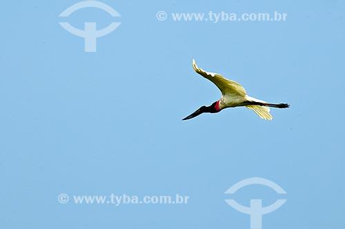 Assunto: Tuiuiú voando - ave ciconiiforme da família Ciconiidae / Local: Corumbá - Mato Grosso do Sul (MS) - Brasil / Data: 10/2010