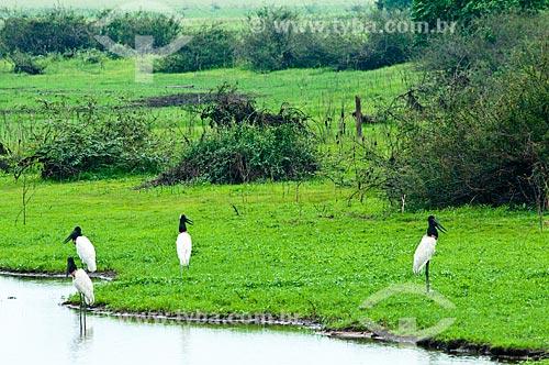 Assunto: Casal de Tuiuiú próximo a um lagoa - ave ciconiiforme da família Ciconiidae / Local: Corumbá - Mato Grosso do Sul (MS) - Brasil / Data: 10/2010