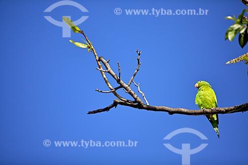 Assunto: Periquito em galho de árvore na Praça Verde Historiador Raimundo Girão / Local: Fortaleza - Ceará (CE) - Brasil / Data: 01/2012