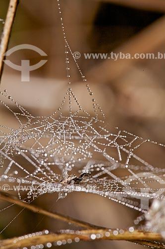 Assunto: Formação de orvalho em uma teia de aranha / Local: Tianguá - Ceará - (CE) - Brasil / Data: 01/2012