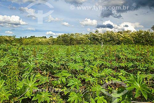 Assunto: Plantação de mamona / Local: Pelotas - Rio Grande do Sul (RS) - Brasil / Data: 2007