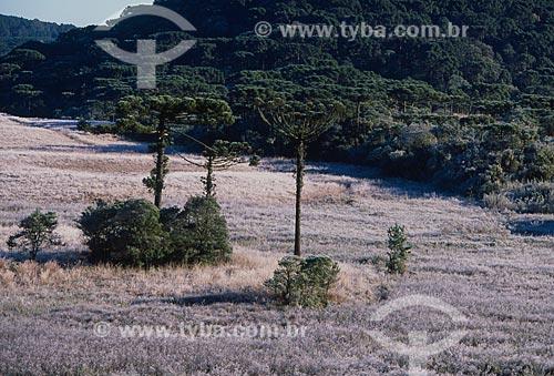 Assunto: Vista de Araucárias e campo com geada / Local: Rio Grande do Sul (RS) - Brasil / Data: 07/2009