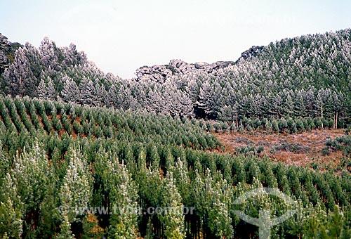 Assunto: Reflorestamento de Pinus / Local: Cambará do Sul - Rio Grande do Sul (RS) - Brasil / Data: 07/2009