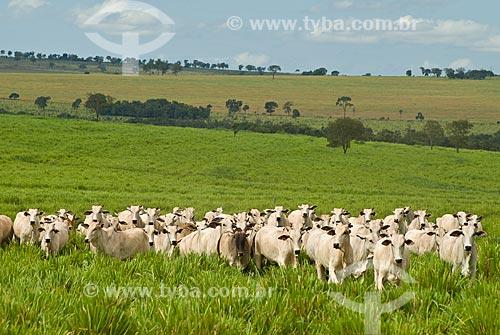 Assunto: Rebanho de gado nelore / Local: Distrito Paraíso - Costa Rica - Mato Grosso do Sul (MS) - Brasil / Data: 2010