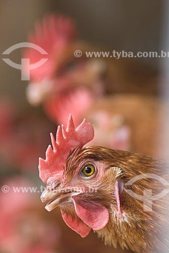 Assunto: Granja de frangos / Local: Lajeado - Rio Grande do Sul (RS) - Brasil / Data: 2010