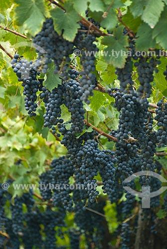 Assunto: Plantação de uva cabernet sauvignon -Colônia italiana / Local: Garibaldi - Rio Grande do Sul (RS) - Brasil / Data: 02/2012