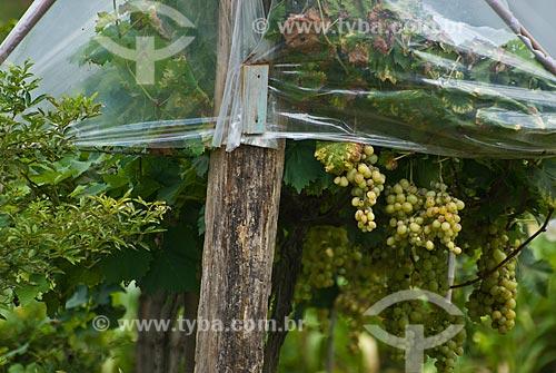 Assunto: Plantação de uva de mesa -Colônia italiana / Local: Garibaldi - Rio Grande do Sul (RS) - Brasil / Data: 02/2012