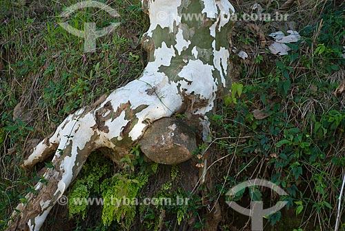 Assunto: Plátano na beira da estrada - Plantação de uva numa colônia italiana / Local: Garibaldi - Rio Grande do Sul (RS) - Brasil / Data: 02/2012
