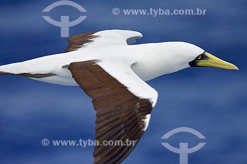Assunto: Atobá-grande voando sobre o mar / Local: Fernando de Noronha - Pernambuco (PE) - Brasil / Data: 01/2009