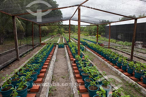 Assunto: Mudas de Boldo-brasileiro - Núcleo de Pesquisa de Agricultura Urbana  / Local: Fortaleza - Ceará (CE) - Brasil / Data: 10/2011