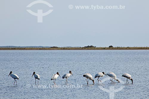 Assunto: Aves na Lagoa do Peixe  / Local: Tavares - Rio Grande do Sul (RS) - Brasil / Data: 02/2012