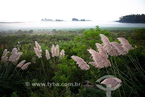 Assunto: Capim-dos-pampas - Gynerium argenteum / Local: Pelotas - Rio Grande do Sul (RS) - Brasil / Data: 02/2012
