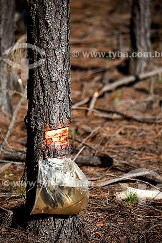 Assunto: Retirada de Resina de Pinus / Local: Tavares - Rio Grande do Sul (RS) - Brasil / Data: 02/2012