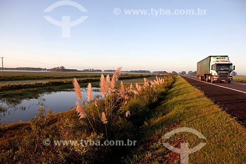 Assunto: Capim-dos-pampas - Gynerium argenteum ao amanhecer - Rodovia BR-116 altura do KM 493 / Local: Pelotas - Rio Grande do Sul (RS) - Brasil / Data: 02/2012