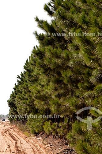 Assunto: Plantação de Pinus / Local: Tavares - Rio Grande do Sul (RS) - Brasil / Data: 02/2012
