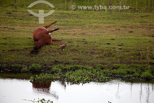 Assunto: Gado morto na Estação Ecológica do Taim / Local: Santa Vitória do Palmar - Rio Grande do Sul (RS) - Brasil / Data: 02/2012