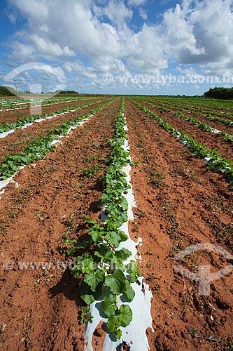 Plantação de melão na comunidade de Pau Branco - Esta propriedade é integrante da Cooperativa de Desenvolvimento Agroindustrial Potiguar - COODAP - Em 2009 conquistou a certificação em comércio justo concedida pela Fairtrade Labeling Organization (FLO-CERT) - Certification for Development - Foi o primeiro caso de certificação de produção de melão no mundo  - Mossoró - Rio Grande do Norte - Brasil