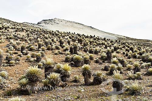 Assunto: Frailejón - Espécie vegetal característica dos páramos no Parque Nacional Sierra de la Culata / Local: Mérida - Mérida - Venezuela - América do Sul / Data: 05/2012