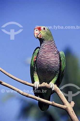 Assunto: Papagaio-de-peito-roxo é ave psittaciforme da família Psittacidae - Próximo a cidade de Registro / Local: São Paulo (SP) - Brasil / Data: 12/2009
