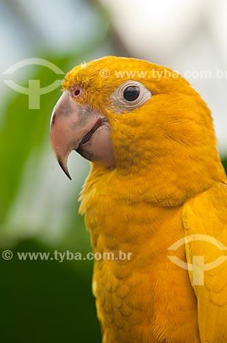 Assunto: Ararajuba - Ave Psittaciforme da família Psittacidae / Local: Rio de Janeiro (RJ) - Brasil / Data: 04/2011
