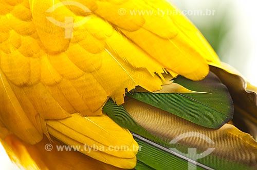 Assunto: Detalhes da asa da Ararajuba - Ave Psittaciforme da família Psittacidae / Local: Rio de Janeiro (RJ) - Brasil / Data: 04/2011