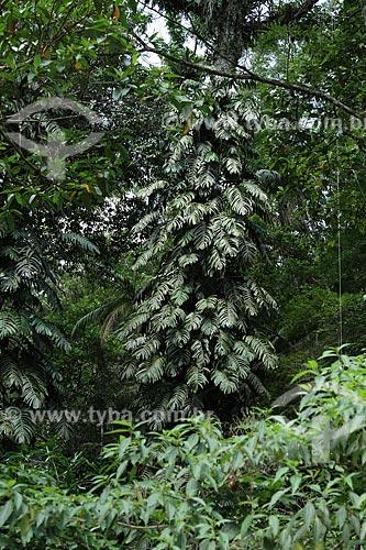 Assunto: Costela de Adão (Monstera adansonii) na Floresta da Tijuca / Local: Rio de Janeiro (RJ) - Brasil / Data: 02/2012