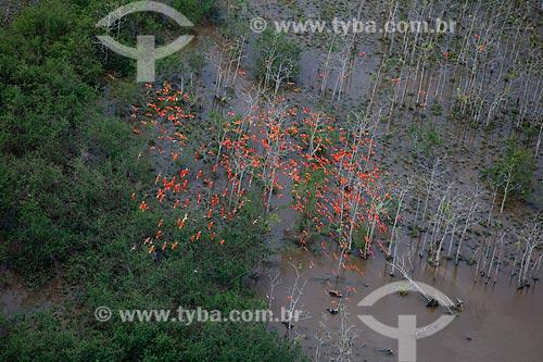 Assunto: Guarás (Eudocimus ruber) voando na Reserva Biológica Lago Piratuba / Local: Amapá (AP) - Brasil / Data: 04/2012