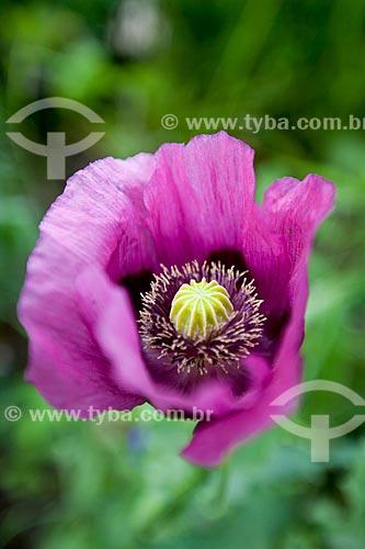 Assunto: Detalhe de uma flor do Jardim de Claude Monet / Local: Giverny - França - Europa / Data: 06/2012
