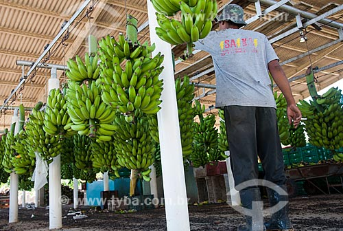 Assunto: Armazém de beneficiamento de bananas no Vale do Ribeira  / Local: Jacupiranga - São Paulo (SP) - Brasil  / Data: 02/2012