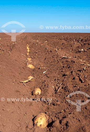 Assunto: Plantação de batatas na zona rural de Casa Branca / Local: Casa Branca - São Paulo (SP) - Brasil  / Data: 06/2011