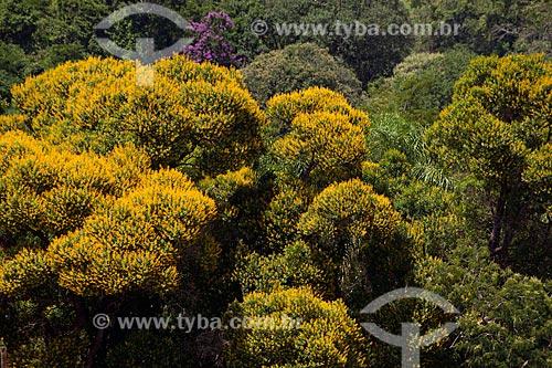 Assunto: Florada de Acácias (Acácia farnesiana) / Local: Taquarivaí - São Paulo (SP) - Brasil / Data: 01/2012