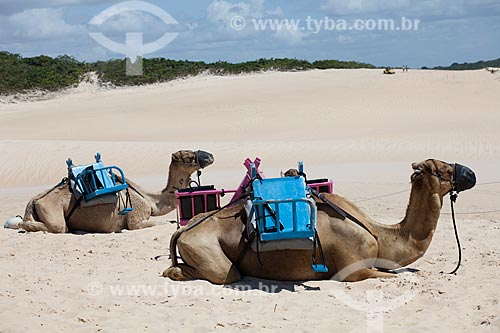Assunto: Dromedários na Praia de Genipapu / Local: Extremoz - Rio Grande do Norte (RN) - Brasil / Data: 07/2012