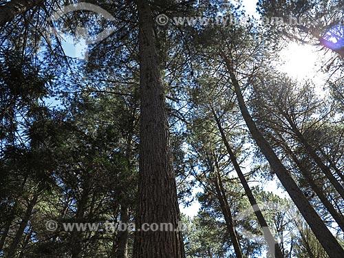 Assunto: Árvores coníferas no Parque Estadual Campos do Jordão também conhecido com Horto Florestal / Local: Campos do Jordão - São Paulo (SP) - Brasil / Data: 09/2012