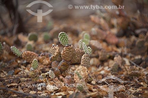 Assunto: Cacto quipá (Opuntia inamoena) no Parque Estadual de Canudos / Local: Canudos - Bahia (BA) - Brasil / Data: 06/2012