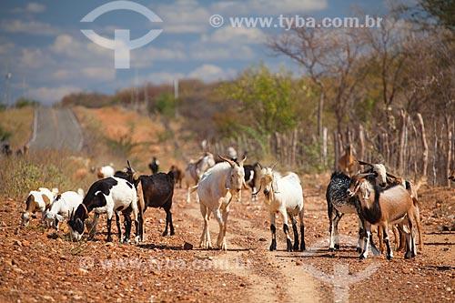 Assunto: Cabras na beira da rodovia PE-630 no sertão de Pernambuco / Local: Petrolina - Pernambuco (PE) - Brasil / Data: 06/2012