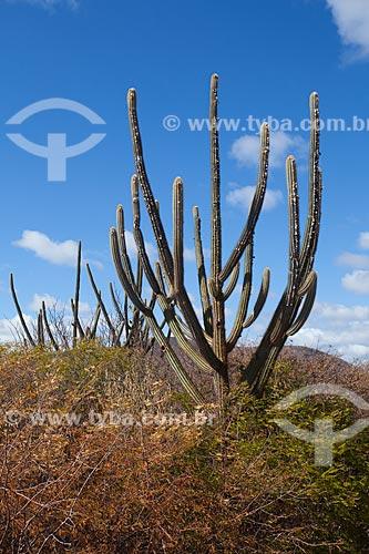 Assunto: Cacto facheiro (Pilosocereus pentaedrophorus) no sertão da Bahia / Local: Jaguarari - Bahia (BA) - Brasil / Data: 06/2012