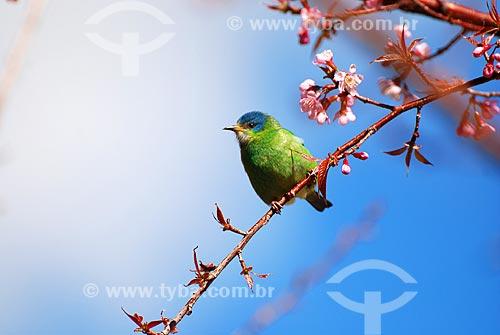 Assunto: Saíra em galho de cerejeira / Local: Itamonte - Minas Gerais (MG) - Brasil / Data: 06/2010