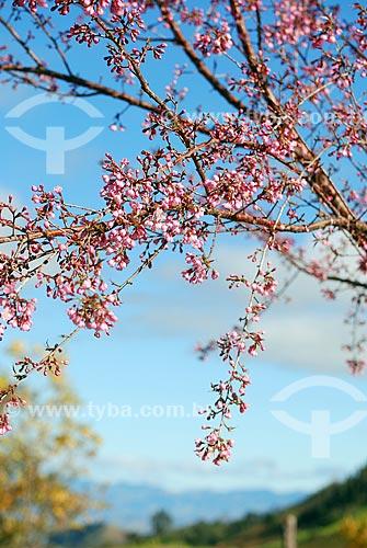 Assunto: Cerejeira florida / Local: Itamonte - Minas Gerais (MG) - Brasil / Data: 06/2010