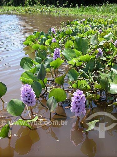 Aguapés (Eicchornia crassipes) em flor, em lago do rio Amazonas, perto de Santarém, Pará, Brasil.  - Santarém - Amazonas - Brasil