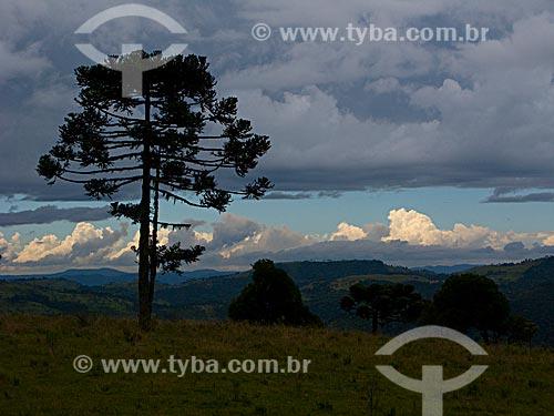 Araucárias (Araucaria angustifolia) próximo à cidade de Urubici / Local: Santa Catarina (SC) - Brasil
