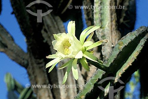Flor do mandacaru (Cereus jamacaru) na Estação Ecológica de Aiuaba, município de Aiuaba, no sertão dos Inhamuns, sudoeste do Ceará.  - Aiuaba - Ceará