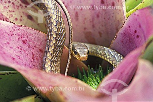 Assunto: Cobra (Chironius carinatus) em bromélia / Local: Rio de Janeiro - Rio de Janeiro (RJ) - Brasil / Data: 02/2009