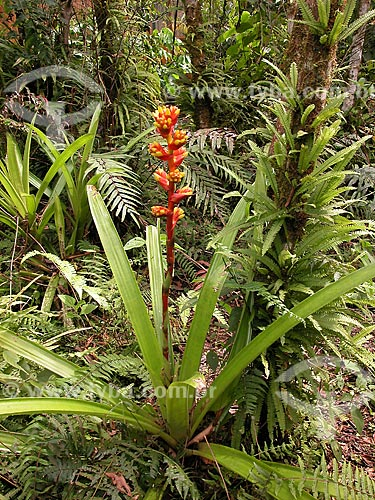 Assunto: Bromélia (Tillandsia sp.)        : município de Cusco, Peru.Keywords : Peru, Cock of the Rock lodge, Bromeliaceae, Tillandsia sp., bromélia, Bromeliad / Local: Cusco - Departamento de Cusco - Peru - América do Sul / Data: 08/2012